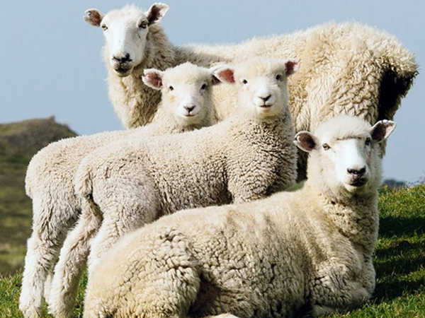 New Zealand Wool Market Report (25 February 2021)