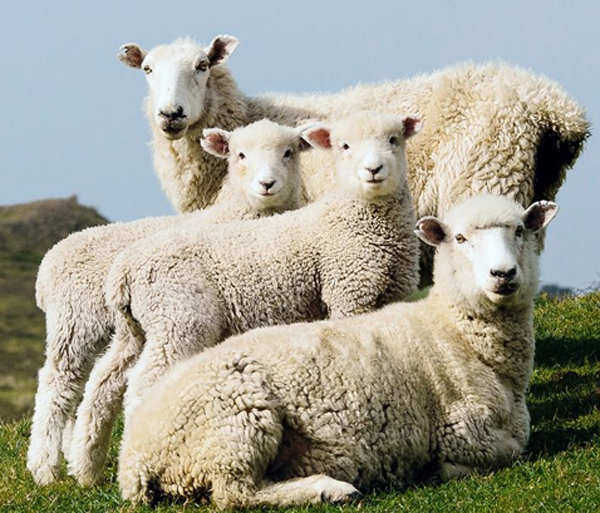 New Zealand Wool Market Report (25 February 2021)