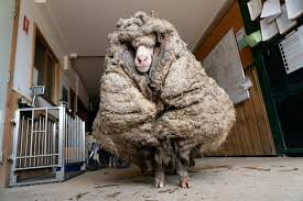 Wild sheep rescued in Australia shorn of 35 kg fleece