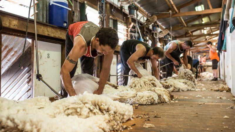 Australian Shorn wool production moves higher